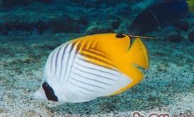 丝蝴蝶鱼的品种简介
