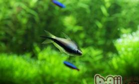 灯鱼造景要点及饲养密度