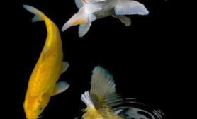 锦鲤:观赏鱼之王的妙曼身姿(多图)