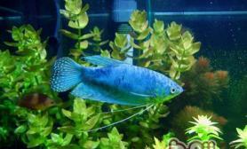 蓝星鱼的喂食要点