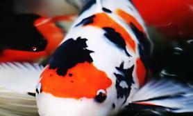 备受青昧的风水和观赏鱼-锦鲤(图)