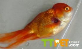 鱼得了皮肤充血病怎么办