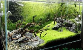 很少看见低矮的石头和枯枝般的灌木一起造景水草缸真是别有一番风味