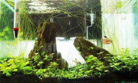 我的自然光水草缸52醛缸