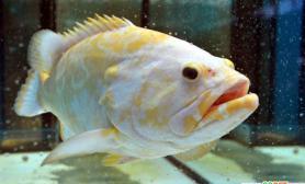台湾诞生世界首条黄金石斑鱼(图)