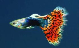 孔雀鱼的品系分类(多图)