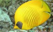 黄色蝴蝶鱼的饲养环境