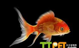 如何治疗金鱼鱼鳔失调症