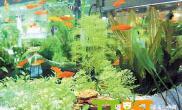 金鱼缸中水草养殖的方法