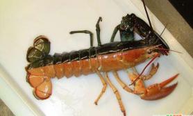 美国渔民捕获罕见双色对称龙虾(多图)