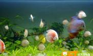 鉴别七彩神仙鱼的雌雄的方法