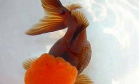 良种观赏鱼游得更广