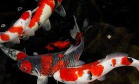 解析锦鲤鱼池过滤系统