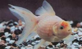 珍珠鳞金鱼的喂食时间和方法(图)