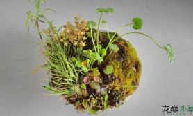 自己水边野菜的小草-陀草