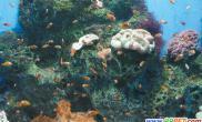 老虎滩珊瑚馆孵化的小丑鱼国庆见客(图)
