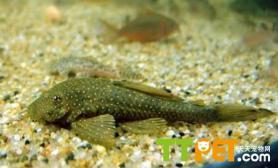 清道夫鱼的品种历史