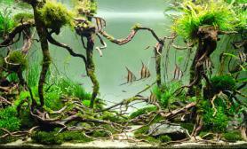 水草缸藤蔓设计造景搭配神仙鱼作品