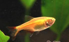 黑红十字鱼简介及繁殖要点