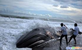 座头鲸萨尔瓦多海滩搁浅(多图)