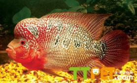 罗汉鱼饲养中需要哪些器材