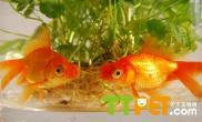 养金鱼要放水草吗