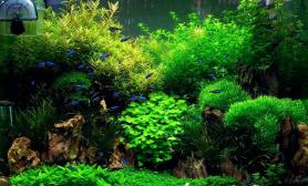 (12图片26更新近况)50松皮石山景缸水草缸历时3月终成景鱼缸水族箱