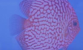 七彩燕鱼的外形特征(图)