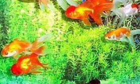 金鱼常见疾病(二)(图)