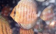 七彩神仙鱼的喂食要点