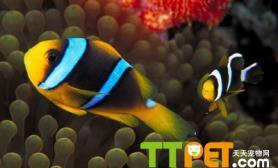 热带鱼饲养中的误区早知道