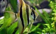 家庭饲养观赏鱼的几个注意事项