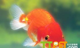 导致金鱼鳍有红色血丝的原因