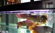 湖南长沙大学生创业养龙鱼龙鱼组合市价高达39.9万元