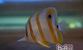 铁嘴鱼的品种简介