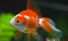 如何让金鱼越养越漂亮
