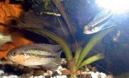 南美短鲷的生长系列状况(图)