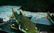 红尾鲶鱼的饲养技巧