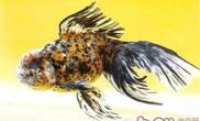 棕色高头翻鳃金鱼的外形特点
