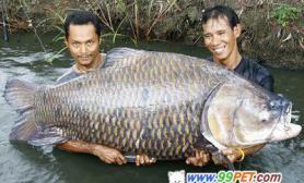 泰渔民钓上重116公斤大鲤鱼(图)