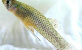 食蚊鱼的外形特点