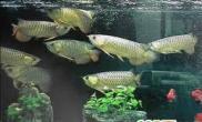 金龙鱼混养的三个注意事项(图)