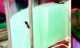 蚂蚁现造宫殿泥土孵热带鱼(图)