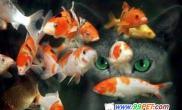 锦鲤幼鱼的挑选与饲养(图)