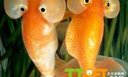 区分金鱼的雌雄的方法技巧