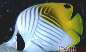 丝蝴蝶鱼的饲养环境