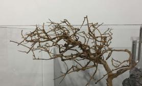 [求助]求助水草缸我这个造型怎么造莫斯树
