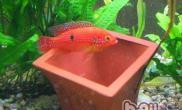 红宝石鱼的品种简介