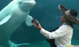 可爱白鲸闻歌起舞(多图)