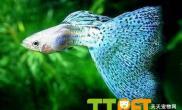 孔雀鱼易患病的预防和治疗方法